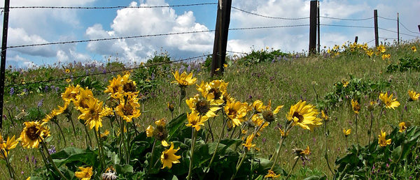 https://vintagetourbus.com/wp-content/uploads/2016/01/Mosier-wild-flowers-fence1-600x258.jpg