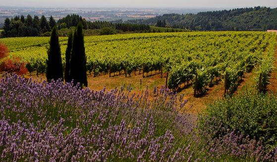https://vintagetourbus.com/wp-content/uploads/2016/01/Willamette-lavender-1-559x327.jpg
