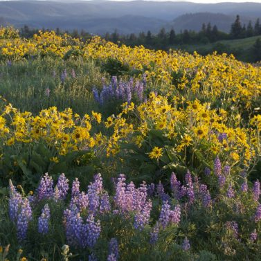 https://vintagetourbus.com/wp-content/uploads/2018/03/Mosier-wild-flowers-Lupin-n-Basumroot-377x377.jpg